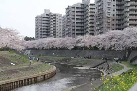 神奈川県横浜市戸塚区の柏尾川堤の桜の写真。合鍵制作、合鍵作成・ディンプルキー作成・スペアキー作成するに、値段、価格、金額が安い俺の合鍵。カギ、合鍵は他人に見せてはいけません。